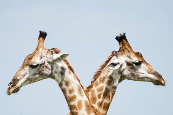 significado de los animales la jirafa