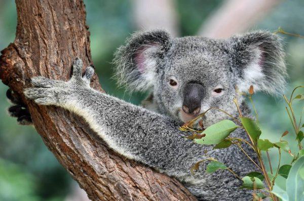 significado de los animales el koala