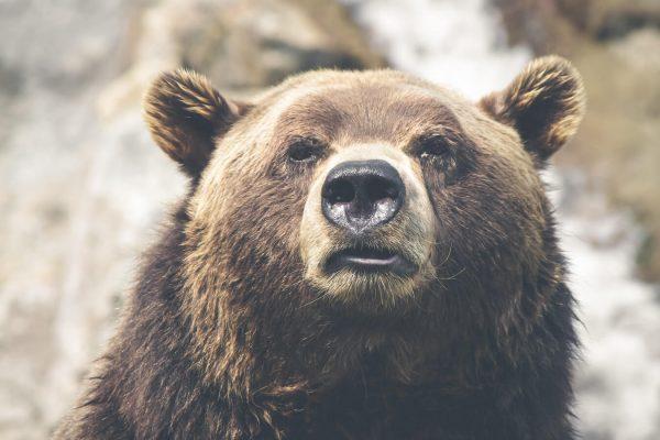 significado de los animales el oso