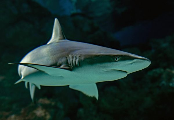 significado de los animales el tiburón