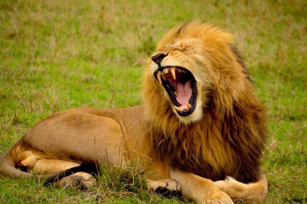 significado de los animales el león